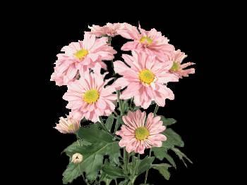 Reagan HFC Asteraceae