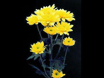 Regatta Asteraceae