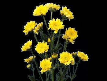 Reggie Asteraceae