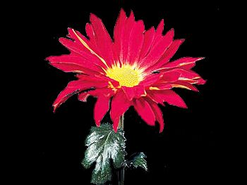 Rover Red Asteraceae
