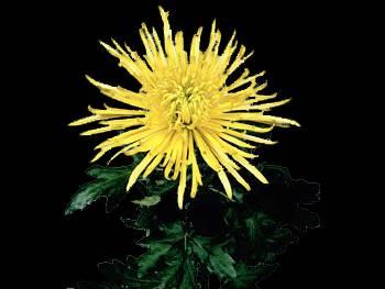 Shamrock HFC Asteraceae