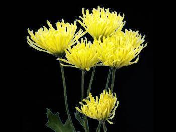 Shamrock Asteraceae