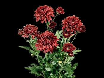 Smokey HFC Asteraceae