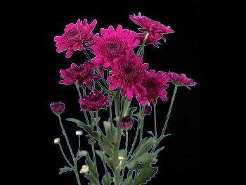 Target Asteraceae