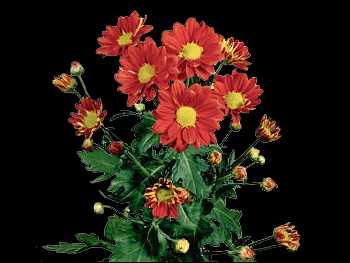 Tiger Rag HFC Asteraceae