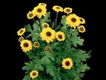 Vymini HFC Asteraceae