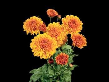 Wendy HFC Asteraceae