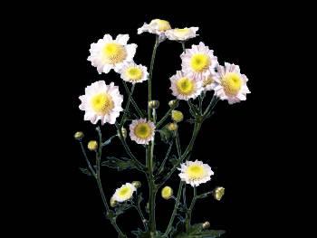 Wisper Asteraceae