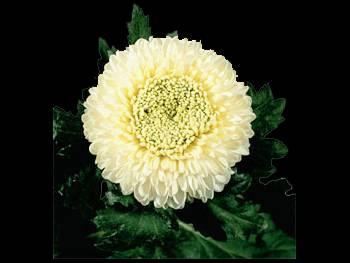 boris Becker HFC Asteraceae