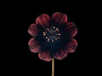 Black Beauty HFC Asteraceae
