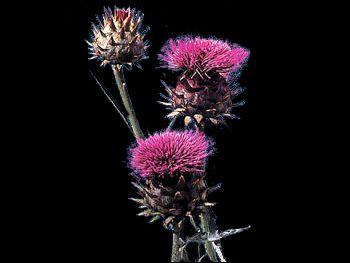 Thistle Asteraceae