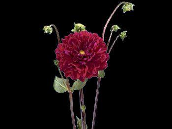 Hybrid Burgundy Asteraceae