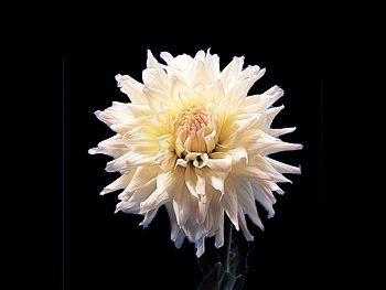 Hybrid White Asteraceae