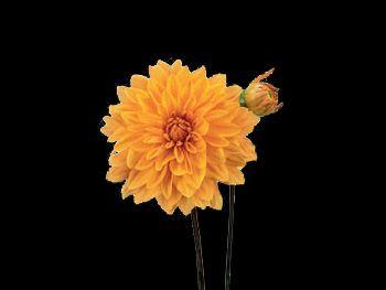 Market Joy HFC Asteraceae
