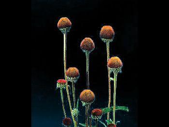 Cone Flower Asteraceae