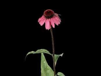 Purpurea HFC Asteraceae