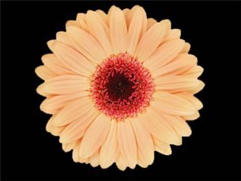 Alma Asteraceae