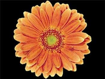 Amati Asteraceae
