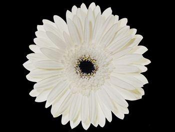 Ave Maria Asteraceae