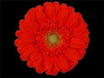 Binchy Asteraceae