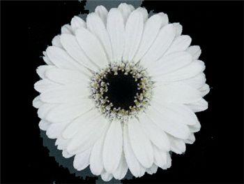 Breezer Asteraceae