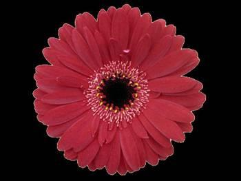 Burgundy Asteraceae