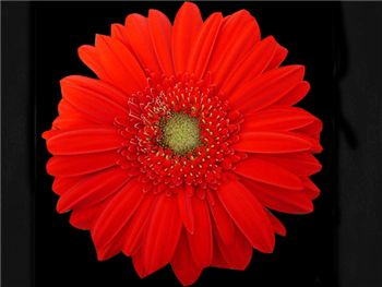 Carambole Asteraceae