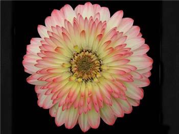 Carat Asteraceae