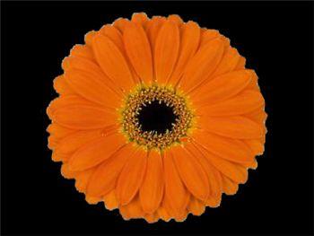Caya Asteraceae