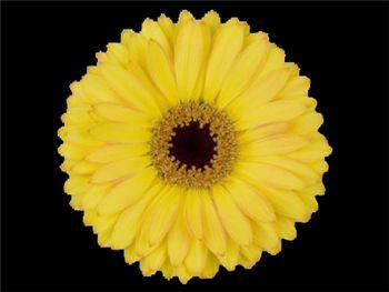 Cebu Asteraceae