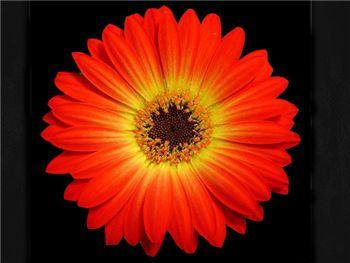Charming Asteraceae