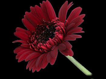 Chocolate Asteraceae