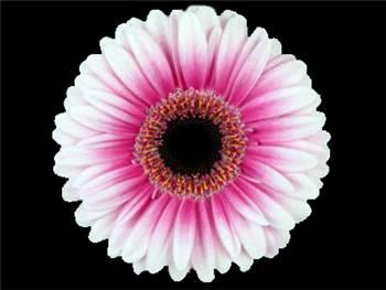 Clarice Asteraceae