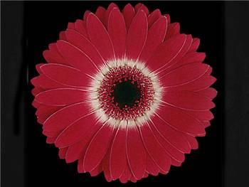 Corazon Asteraceae