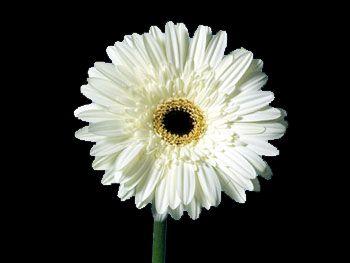 Dalma Asteraceae