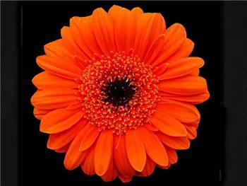 Damar Asteraceae