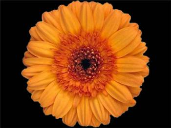 Daphne Asteraceae