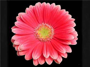 Davince Asteraceae