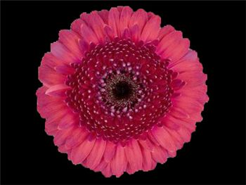 Davy Jones Asteraceae