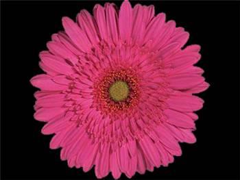 Deinhardt Lila Asteraceae