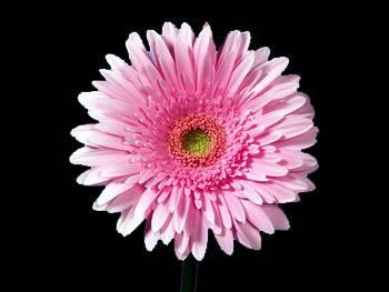 Delian Asteraceae
