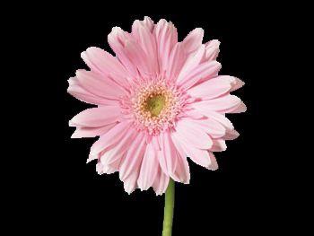 Dolce Vita Asteraceae