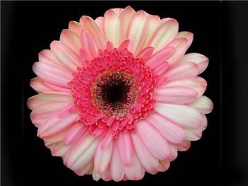 Dolores Asteraceae