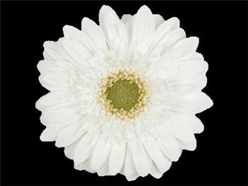 Dubai Asteraceae