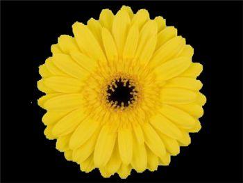 Eiko Asteraceae