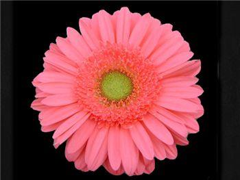 Esmara Asteraceae