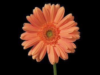 Fellini Asteraceae