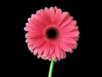 Francella Asteraceae
