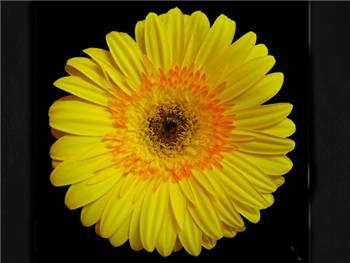 Fusion Asteraceae