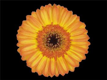 Gaby Asteraceae